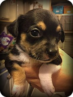 Dachshund/Chihuahua Mix Puppy for adoption in Phoenix, Arizona - DAPHNE