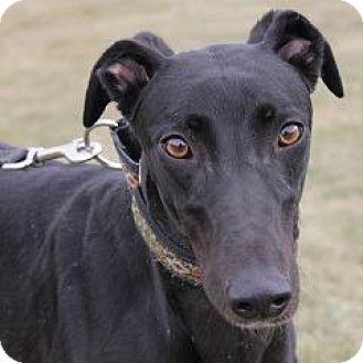 Greyhound Dog for adoption in Carol Stream, Illinois - Barts Pixels