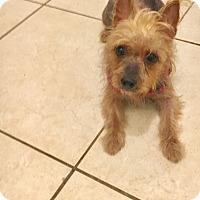 Adopt A Pet :: Amber - Pembroke pInes, FL