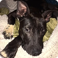 Adopt A Pet :: Rigatoni - Villa Park, IL
