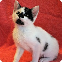 Domestic Shorthair Kitten for adoption in Greensboro, North Carolina - Bonny