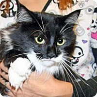Domestic Mediumhair Cat for adoption in Wildomar, California - Stella