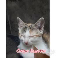Adopt A Pet :: CREPE SUZETTE - THORNHILL, ON