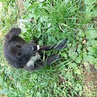 Adopt A Pet :: Toby - Pryor, OK
