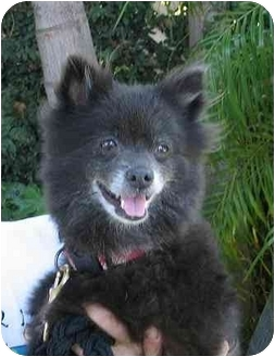 Pomeranian Dog for adoption in Studio City, California - Coco Bean