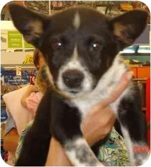 Border Collie/Cattle Dog Mix Puppy for adoption in Broomfield, Colorado - Sassy Girl