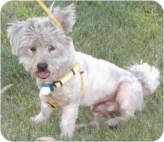 Lhasa Apso/Maltese Mix Puppy for adoption in Los Angeles, California - BonBon