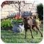 Photo 4 - Basenji/Miniature Pinscher Mix Dog for adoption in Arlington, Tennessee - Gia-**UPDATE!**