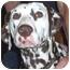 Photo 3 - Dalmatian Dog for adoption in Steger, Illinois - Kobe