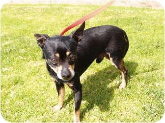 Chihuahua Mix Dog for adoption in El Cajon, California - Cherry
