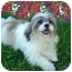 Photo 1 - Lhasa Apso Puppy for adoption in Los Angeles, California - LEVI
