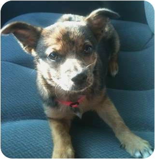 Dachshund/Pomeranian Mix Puppy for adoption in Newburgh, Indiana - Nala