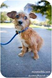 Norfolk Terrier Mix Dog for adoption in Houston, Texas - Jax