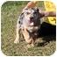 Photo 4 - Australian Shepherd Mix Puppy for adoption in Hagerstown, Maryland - Twister
