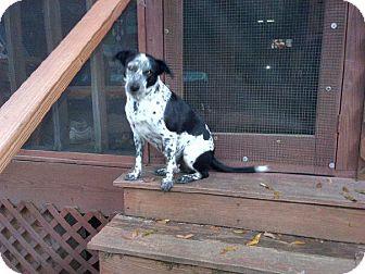 Blue Heeler/Border Collie Mix Dog for adoption in Jesup, Georgia - Maymie