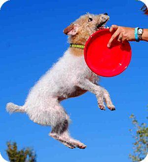 Jack Russell Terrier Dog for adoption in Phoenix, Arizona - GUNNER