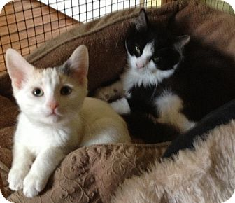 Domestic Shorthair Kitten for adoption in Strongsville, Ohio - Jack and Jill