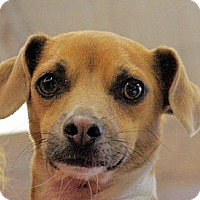 Chihuahua Mix Dog for adoption in Longview, Washington - Dash