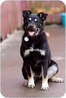 Rottweiler/Husky Mix Dog for adoption in Portland, Oregon - Monty