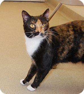 Calico Cat for adoption in Bucyrus, Ohio - Uni Kitty
