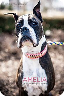 Boxer Dog for adoption in Garden City, Michigan - Amelia