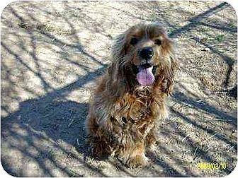 Cocker Spaniel Dog for adoption in Lincolndale, New York - Molson