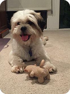 Lhasa Apso Mix Dog for adoption in San Antonio, Texas - Gizmo