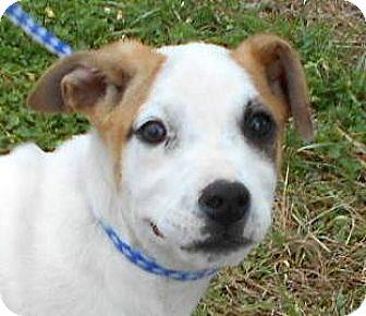 German Shepherd Dog/Terrier (Unknown Type, Medium) Mix Puppy for adoption in Allentown, New Jersey - Vanilla