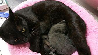 American Shorthair Kitten for adoption in Nuevo, California - Luna