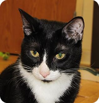 Domestic Shorthair Cat for adoption in Woodstock, Illinois - Rocco