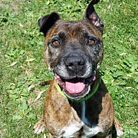American Staffordshire Terrier Mix Dog for adoption in Grayslake, Illinois - Saber