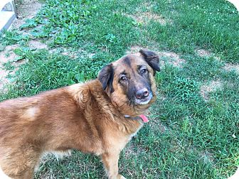 German Shepherd Dog/Golden Retriever Mix Dog for adoption in Windham, New Hampshire - BeeBee - Reduced fee!