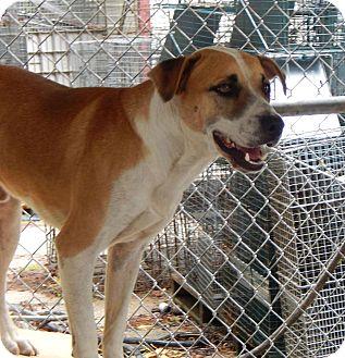 Labrador Retriever Mix Dog for adoption in Henderson, North Carolina - Colby