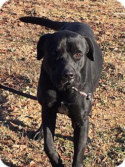Rottweiler/Labrador Retriever Mix Dog for adoption in Attalla, Alabama - Leon