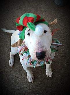 Bull Terrier Mix Dog for adoption in Dallas, Texas - Libby
