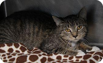 Domestic Shorthair Cat for adoption in Marietta, Ohio - Katie (Spayed)