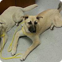 Adopt A Pet :: Anatolian Pups - Inverness, FL