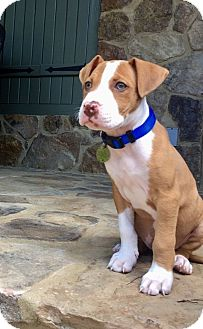 American Pit Bull Terrier Mix Puppy for adoption in Knoxville, Tennessee - Diesel