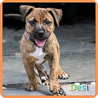 Adopt A Pet :: Desi - Hollywood, FL
