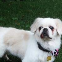 Adopt A Pet :: Mushu Gai Pan - DeSoto, IA