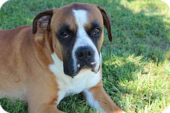 Boxer/Mastiff Mix Dog for adoption in Harmony, Glocester, Rhode Island - Samson