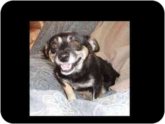 Miniature Pinscher/Corgi Mix Dog for adoption in Phoenix, Arizona - Mac Surl-E