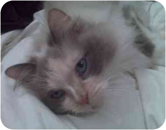 Ragdoll Cat for adoption in Toronto, Ontario - Evian