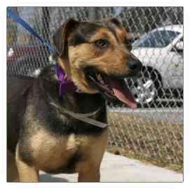 German Shepherd Dog Mix Dog for adoption in North Charleston, South Carolina - Ashley