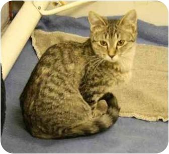 Domestic Shorthair Cat for adoption in Okotoks, Alberta - Weezy