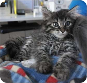 Maine Coon Kitten for adoption in Davis, California - Raven