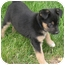 Photo 2 - Collie Mix Puppy for adoption in Mt. Prospect, Illinois - Tater