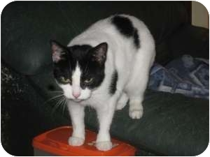 Domestic Shorthair Cat for adoption in Toronto, Ontario - Dusty