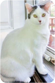 Domestic Shorthair Kitten for adoption in Mt. Prospect, Illinois - Bowie