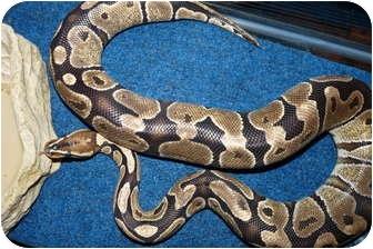 Snake for adoption in Richmond, British Columbia - Saffron